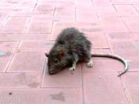 Palazzo San Giorgio invaso dai ratti