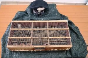 50 cardellini in gabbia: pluripregiudicato fermato a Civitanova