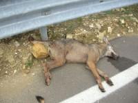 Campobasso, ritrovata una carcassa di lupo