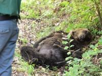 Orso trovato morto: è stato ucciso a fucilate