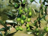 Sviluppo sostenibile del territorio, protocollo tra Unimol, comune di Venafro e parco dell'olivo