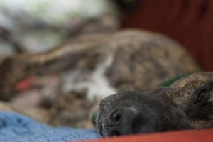 Cane seviziato e ucciso, orrore a Cercemaggiore