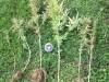 Campochiaro, la Forestale scova sei piantine di cannabis sativa