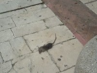 Lotta serrata ai topi, a Campobasso riparte la derattizzazione