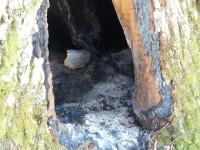 Bojano, acceso un fuoco nel fusto di un castagno monumentale