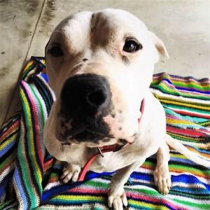 sherman cane randagio adottato da jessica di cicco venafro
