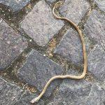 Isernia, serpente a spasso nel piazzale dell'ospedale: infuria la polemica