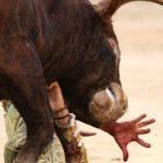 Infilzato da un toro, muore allevatore