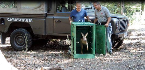 Liberato nei boschi il cucciolo di capriolo salvato a maggio dai veterinari dell'Asrem