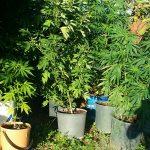 Arbusti di marijuana di oltre 2 metri nell'orto, 41enne del capoluogo in manette