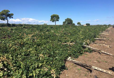 Vigneti distrutti a Campomarino, incontro con tre dei vitivinicoltori
