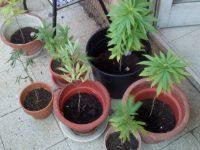Piante di marijuana sul terrazzo di casa, nei guai una coppia di coniugi campobassani