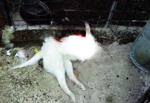 Venafro, cane decapitato in giardino: indaga la Forestale