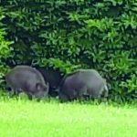 Isernia, cinghiali nel giardino ed è panico tra i residenti dell'Acqua Solfurea