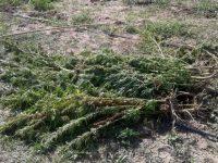 Montenero di Bisaccia, rubate 2mila piantine da raccogliere: lo sdegno di chi le aveva coltivate