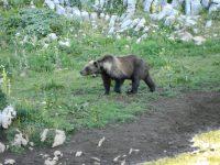 San Pietro Avellana, nuova incursione di orsa Peppina che fa incetta di polli