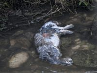 Ancora schiuma nel Rava, animali morti: a Venafro arriva l'Arpa