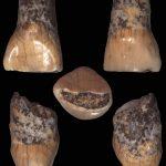 Il dentino del bimbo preistorico torna a Isernia ma solo per due giorni