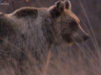 Tornano gli orsi a Spinete, trovate le tracce del passaggio