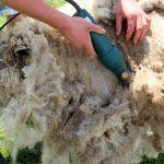 A Castelpetroso arriva il primo campionato di tosatura delle pecore