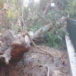 A Venafro grosso albero cede a tarda sera, di giorno sarebbe stata una tragedia