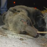 L'orsa investita a Rionero è un esemplare sconosciuto