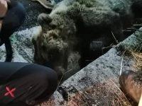 Rionero Sannitico, l'orsa Liberata travolta e uccisa da un camion: sconcerto nel Pnalm