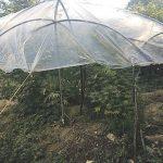Nel giardino una serra di maria, sequestrati a Baranello 45 chili di droga