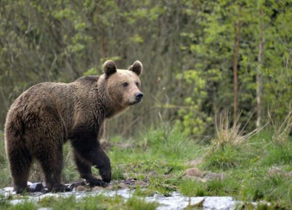 Orso in cerca di cibo avvistato a Rionero