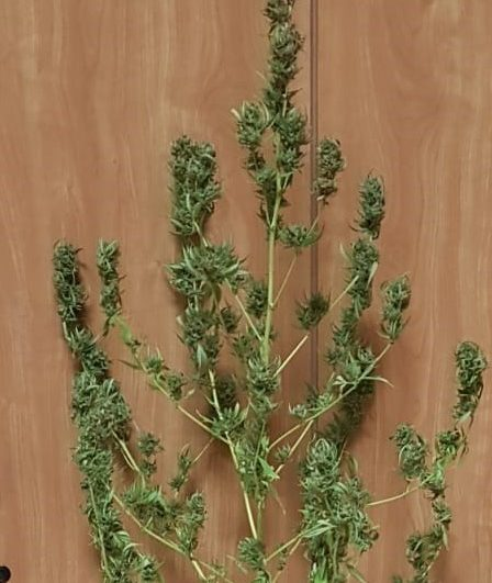 Marijuana nelle tasche e anche a casa, a Guardiaregia scoperta una pianta da 500 dosi