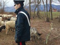 Pascolo abusivo e danni: allevatore di Cantalupo nel Sannio finisce nei guai