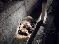 Orsa investita e uccisa, task force del Pnalm per salvare il suo cucciolo