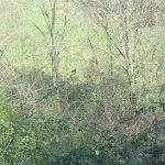 Psicosi pantera in Molise, tre avvistamenti a Limosano