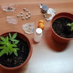 Marijuana e kobret, un affare di famiglia: nei guai padre e figlio a Bojano