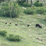 Parco nazionale d'Abruzzo, Lazio e Molise: avvistata per la prima volta un'orsa con quattro cuccioli