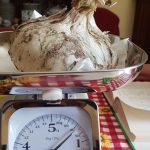 Settecento grammi di dolcezza: a Isernia raccolta la cipolla da record