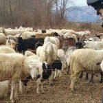 Pastore sfruttato a Cantalupo, denunciato il suo datore di lavoro