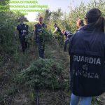 Campomarino, estirpate quasi 4mila piante di marijuana