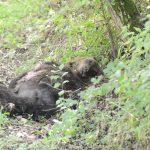 Uccise un orso a fucilate: imputato condannato a risarcire il Parco nazionale d'Abruzzo, Lazio e Molise