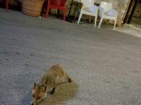 Ribalta nazionale per la volpe di Miranda che ogni sera scende dai monti per cenare al bar