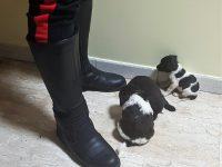 In uno scatolone sotto il guard-rail, i carabinieri di Bojano salvano 3 cuccioli
