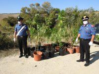 Piantagione di marijuana lungo il Cigno, sequestrata dai Carabinieri