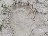 Tracce di orso marsicano nelle campagne di Lucito, attivata la rete di monitoraggio