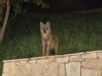A Civitacampomarano si aggira un 'turista notturno', avvistato un esemplare di lupo