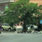 Più di 40mila cinghiali in Molise, Coldiretti: situazione fuori controllo
