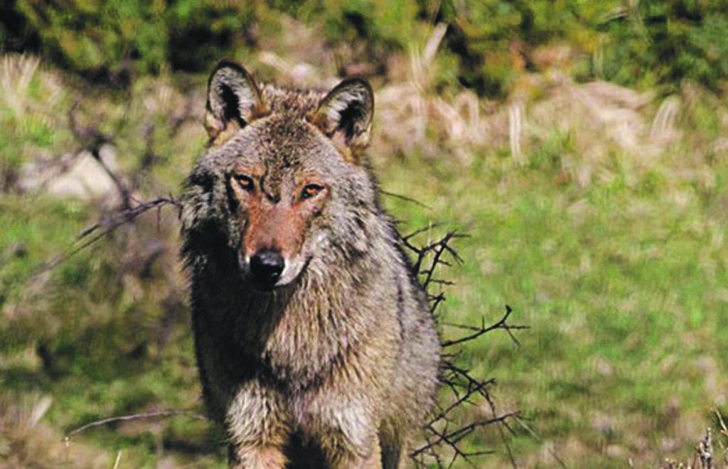 Allarme Coldiretti: emergenza lupi, la Regione intervenga