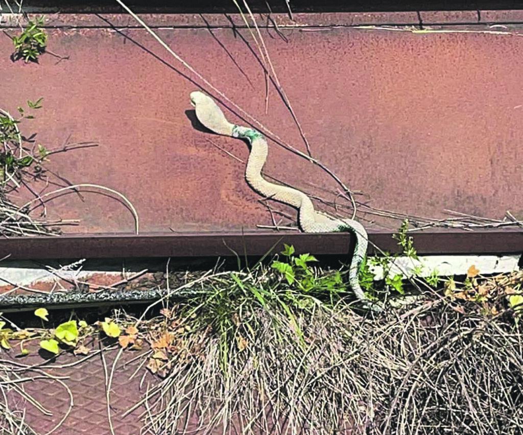 Sant'Agapito. Dopo la meteorite, ora è caccia al cobra nascosto nei campi