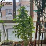 Campobasso, coltivava marijuana sulla veranda di casa: pregiudicato 52enne denunciato dai carabinieri