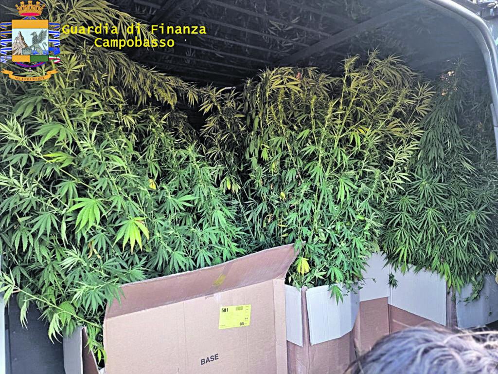 Bojano come il Messico: trovate e sequestrate 140 piante di cannabis