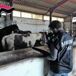 Blitz di Nas e Carabinieri a Santa Croce, sigilli ad animali e stalle